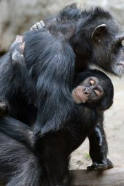 Minunata lume a animalelor-cimpanzeul