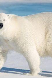 Minunata lume a animalelor-Ursul Polar