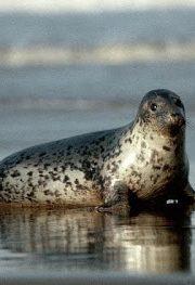 Minunata lume a animalelor – foca cenusie