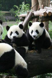 Minunata lume a animalelor-ursul panda urias