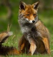 Minunata lume a animalelor  – vulpea roscata